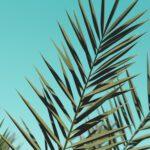 Een olijfboom kopen: vakantiegevoel in eigen tuin